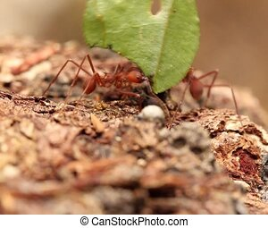 Leaf cutter ants (Atta sp.) - carrying pieces of leaves...