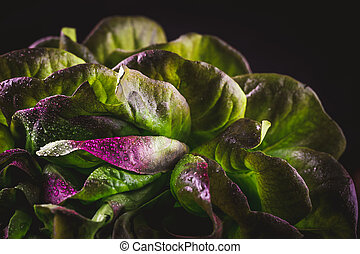 Organic Red Oakleaf lettuce on dark wooden background. Color...