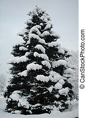 Evergreen in Snow - Large evergreen tree in snow from...