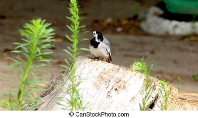 White-browed wagtail Motacilla mad - close-up White-browed...