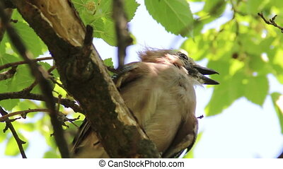 young Eurasian jay (Garrulus glandarius) - close-up young...