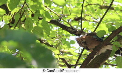young Eurasian jay (Garrulus glanda - close-up young jay...