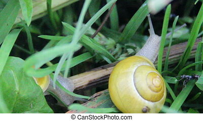 garden snail (Helix pomatia) - close-up crawling garden...