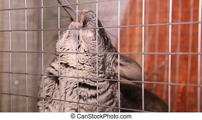 drinking chinchillas - two grey chinchillas drink a water
