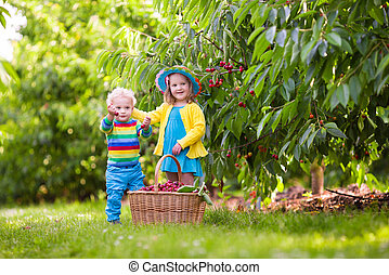 Kids picking cherry from tree - Kids picking cherry on a...