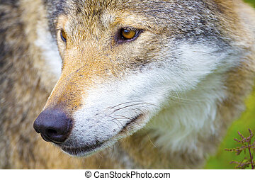 Close-up portrait of a wolf head - Beautiful wolf standing...