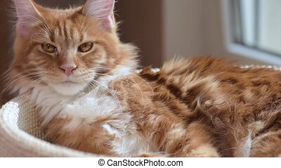 Maine coon cat looking - Funny Maine coon cat move his head...