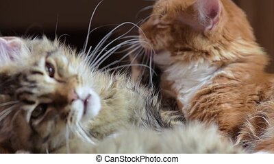 Maine coon cat washes - Two cats licking each other. Funny...