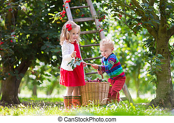 Kids picking cherry on a fruit farm. Children pick cherries...