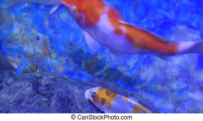 Koi Domesticated Carps