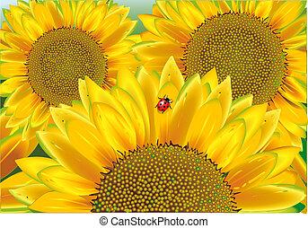 sunflower, ladybird