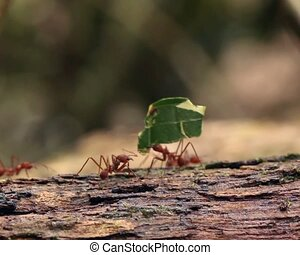 Leaf cutter ants Atta sp - carrying pieces of leaves along a...