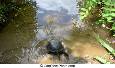 Released turtle swims away to water - Released small turtle...