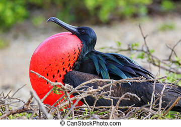 Male Great Frigatebird on Genovesa Island, Galapagos...