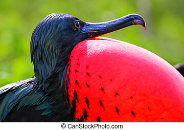 Portrait of male Great Frigatebird (Fregata minor) on...