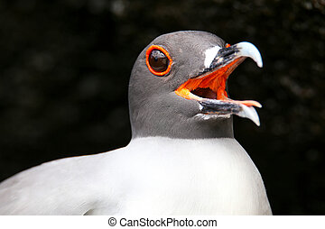 Portrait of Swallow-tailed Gull