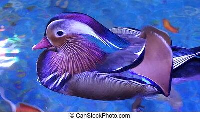 Mandarin Duck Male Aix galericulata - Mandarin duck male Aix...