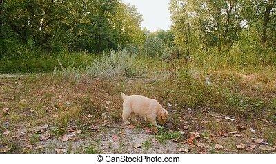 Puppy walks on a path