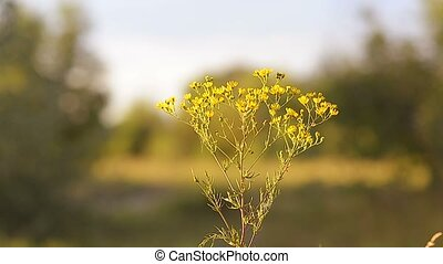 Yellow camomiles in the field - Beautiful yellow camomiles...