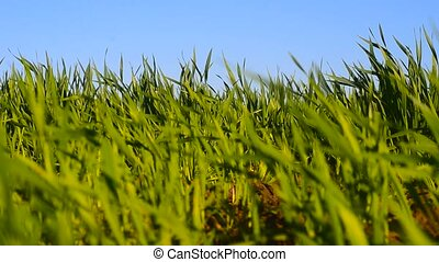 Green winter wheat swaying in the wind