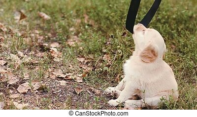 Puppy plays on a grass with a belt