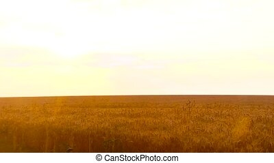 Gold wheat on a sunset - Wheat field. Ears of golden wheat...
