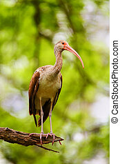 Immature white ibis sitting on a tree - Immature white ibis...