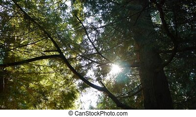 Sun rays in the trees - The sun shines through branches of a...
