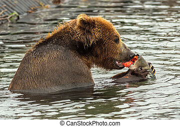 Brown bear eating caught salmon with red caviar in Kurile...