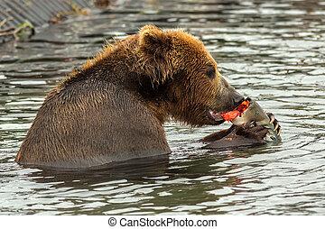 marrón, oso, comida, agarrado, Salmón, con,...