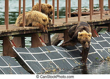 Young brown bear waiting prey on fence to account for fish....