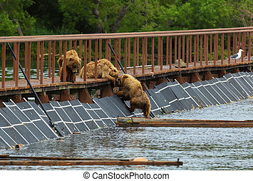 Three little brown bear cub on fence to account for fish...