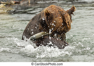 Brown bear trying to catch a fish on Kurile Lake. Southern...