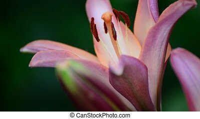 Big pink lily close-up on a green background