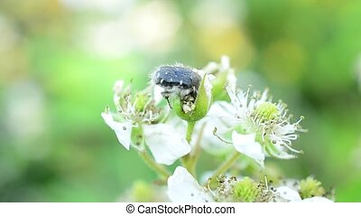 Black beetle with white spots on blackberry flowers