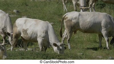 Cows And Cattles At Gias Della Casa, Italy - Native...
