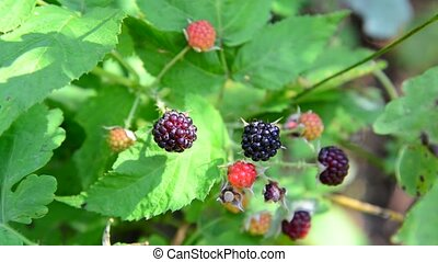 blackberries on branch. Summer sunny day - blackberries on a...