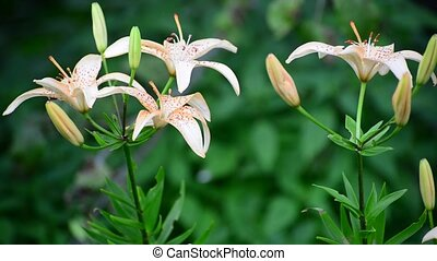 Beautiful pink lilies in a garden on flowerbed - Beautiful...