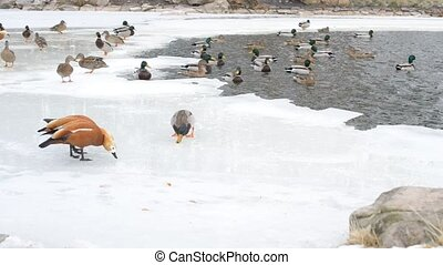 Lots of ducks in winter on ice of a pond fed by people