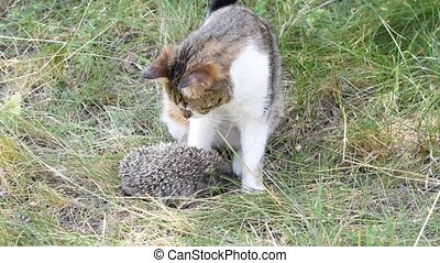 Hedgehob bites a cat - Hedgehob attacks a curious cat by...