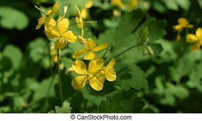 Greater celandine flowers - Lush green greater celandine...