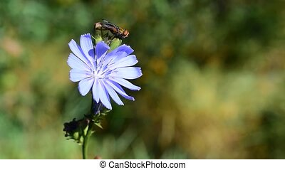 Fly on the chicory flower - Fly sitting on the chicory...