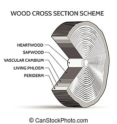 Wood cross section scheme. Trunk of tree structure slice...