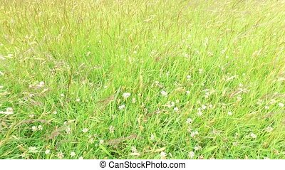 clover and grass growing on meadow or field 49 - nature,...