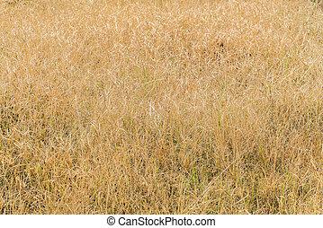 Dry grass field  . - Dry grass field