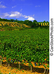 Vineyard with ripe grapes, and blue sky