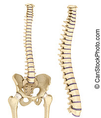 Spinal cord and pelvis
