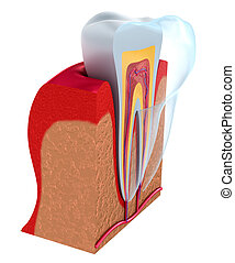 Lower teeth and dental implant isolated on white Medically...