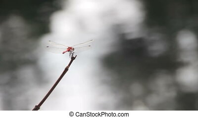 Dragonfly on a Branch Red big Dragonfly, close-up, arrives...