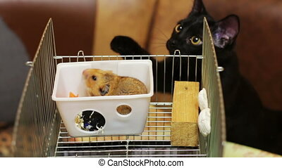 Cinemagraph - Hamster in a Cage and Black Cat Home fat...